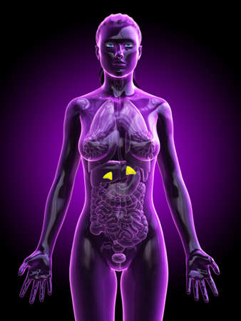 3d rendered medically accurate illustration of a females adrenal glands