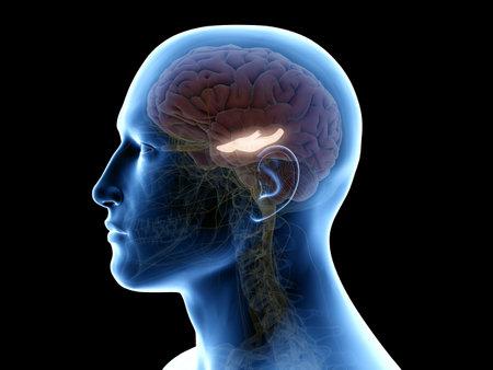 3D gerenderte medizinisch genaue Abbildung des Hippocampus Standard-Bild
