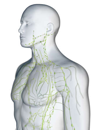 3d rendered medically accurate illustration of the lymphatic system of the upper body