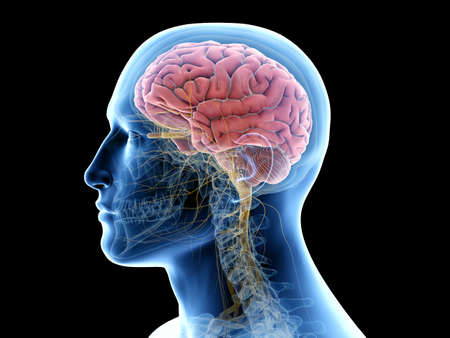 3d gerendert medizinisch genaue Darstellung des menschlichen Gehirns