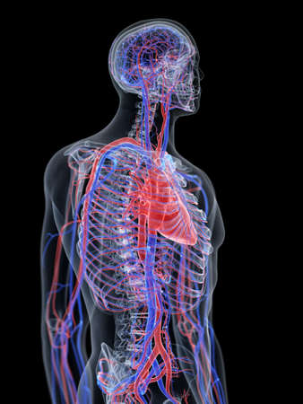 3d rendered medically accurate illustration of the heart and vascular system
