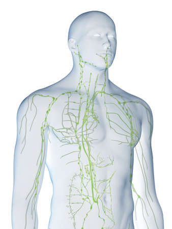 3d rendered medically accurate illustration of the lymphatic system