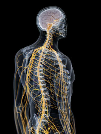 3d rendered medically accurate illustration of the brain and nervous system