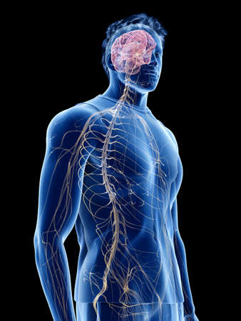 3d rendered medically accurate illustration of the human nervous system Stock fotó