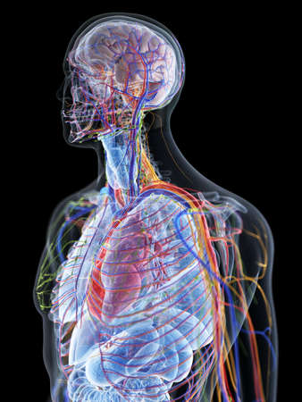 3d rendered medically accurate illustration of the human anatomy