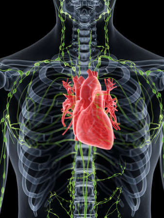 3d rendered medically accurate illustration of the human heart 스톡 콘텐츠