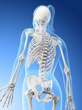 3d rendered illustration of a females skeleton