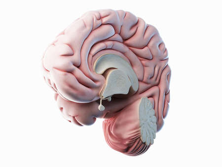 3d rendered illustration of a lateral cross-section of a human brain