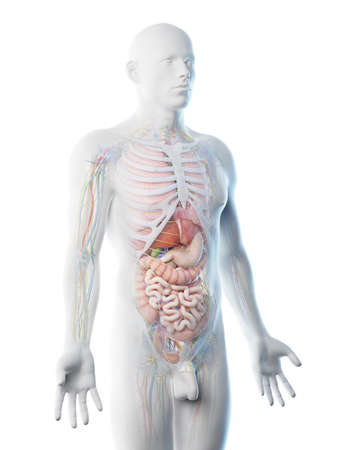 3d rendered illustration of a mans upper body anatomy Stock Photo