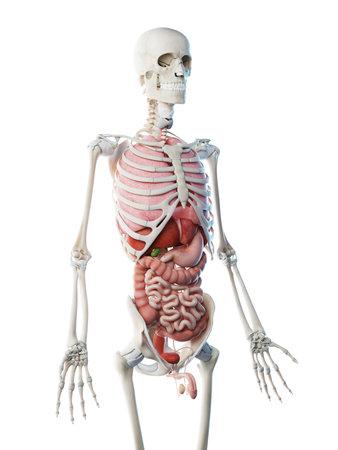 3d rendered illustration of a mans organs
