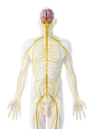 3d rendered illustration of a mans nervous system Stock Photo