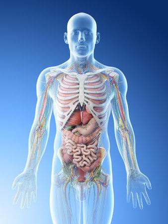 3d rendered illustration of a mans upper body anatomy Reklamní fotografie
