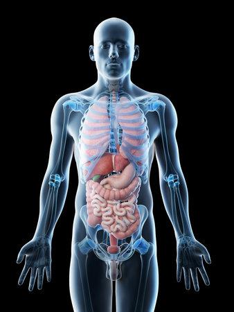 3d rindió la ilustración de los órganos de un hombre