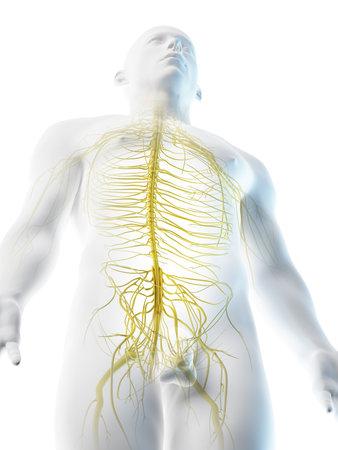 3d rendered illustration of a mans nerves of the upper body