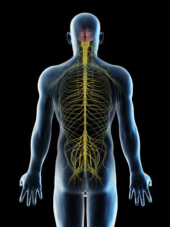 3d rendered illustration of a mans nerves of the back Stock Photo