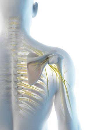 3d rendered illustration of a mans nerves of the shoulder Archivio Fotografico - 117989312