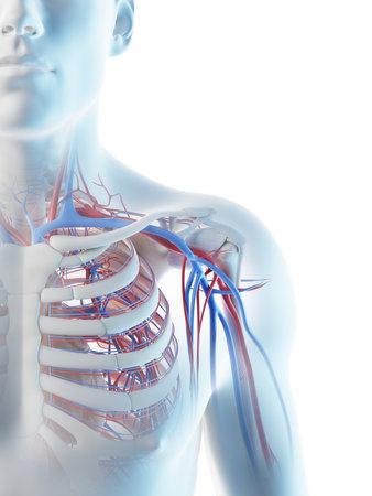 3d rendered illustration of a mans blood vessels of the shoulder Archivio Fotografico - 117989331