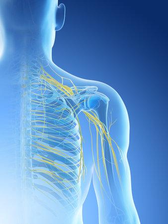 3d rendered illustration of a mans nerves of the shoulder Archivio Fotografico - 117988865