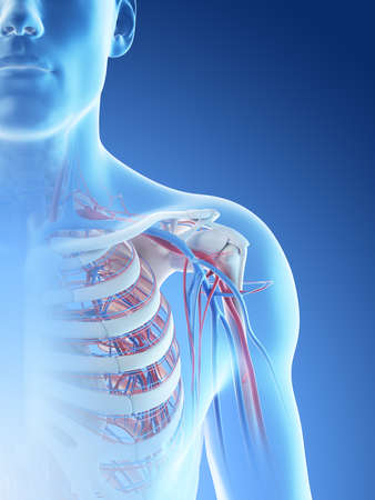 3d rendered illustration of a mans blood vessels of the shoulder Stock Photo