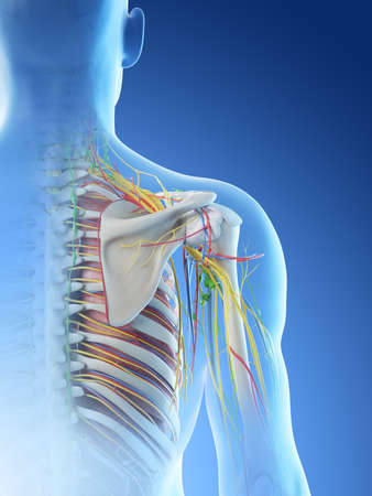 3d rendered illustration of a mans anatomy of the shoulder Archivio Fotografico - 117988245