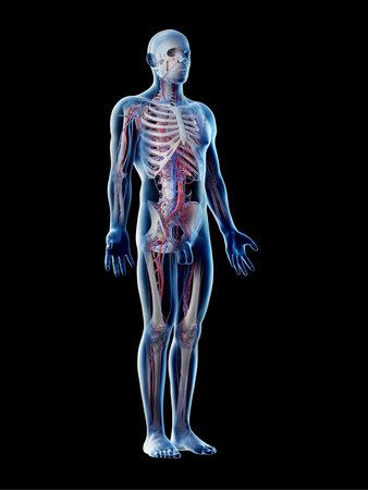 3d rendered illustration of a mans vascular system