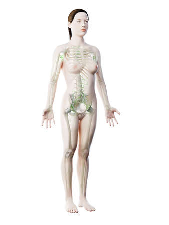 3d rendered illustration of a females lymphatic system