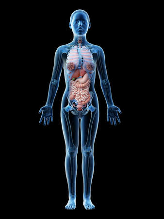 3d rendered illustration of a females organs