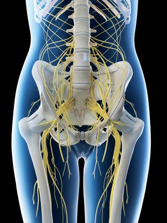 3d rendered illustration of a females lumbar nerves