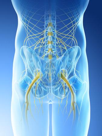 3D gerenderte Darstellung der Nerven des Beckens eines Mannes Standard-Bild