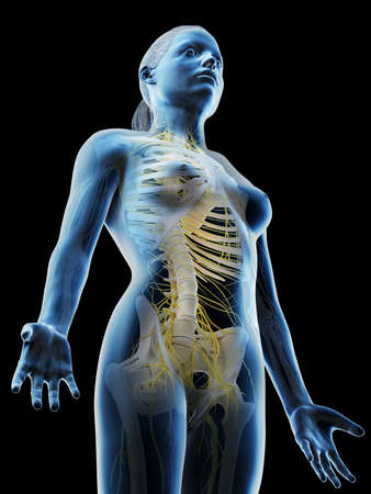 3d rendered illustration of a females nervous system of the upper body