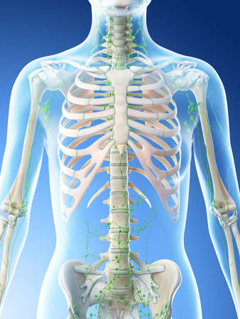 3d rendered illustration of a females thoracic lymph nodes