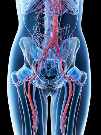 3d rendered illustration of a females abdominal vascular system