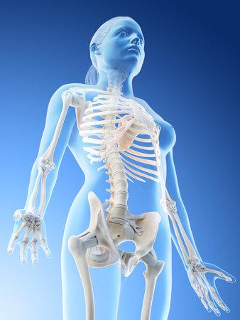 3d rendered illustration of a females skeletal upper body Stockfoto
