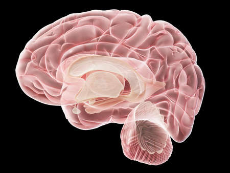 3d rendered medically accurate illustration of a lateral cross-section of the human brain