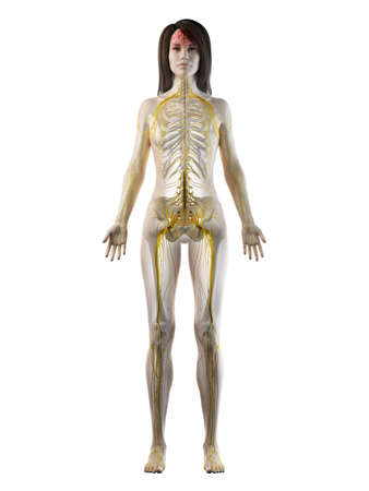 3d rendered medically accurate illustration of a females nervous system