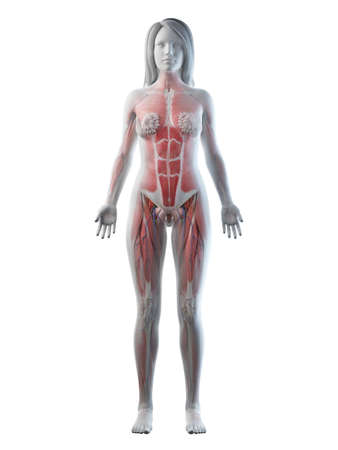 3d rendered medically accurate illustration of a females full body anatomy Foto de archivo - 118394698