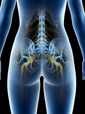 3d rendered medically accurate illustration of a females sciatic nerve