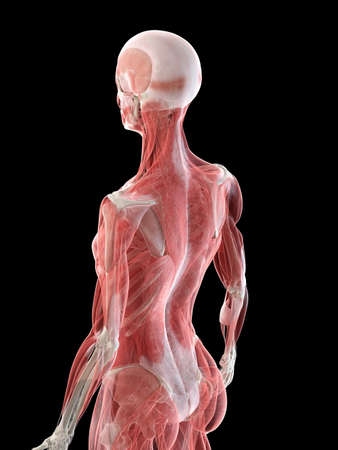 3d rendered medically accurate illustration of a females muscle system