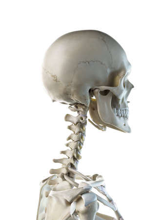 3d rendered medically accurate illustration of a females skeletal neck