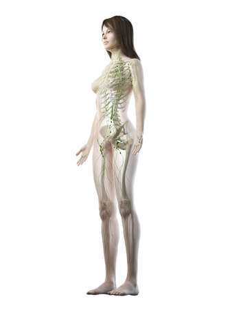 3d rendered medically accurate illustration of a females lymphatic system