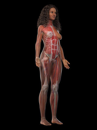 3d rendered medically accurate illustration of a black females muscle system