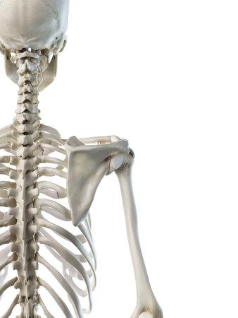 3d rendered medically accurate illustration of a females skeletal shoulder Stok Fotoğraf