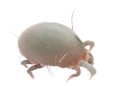 3d rendered illustration of a house dust mite 写真素材