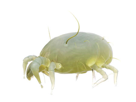 3d rendered illustration of a house dust mite 스톡 콘텐츠