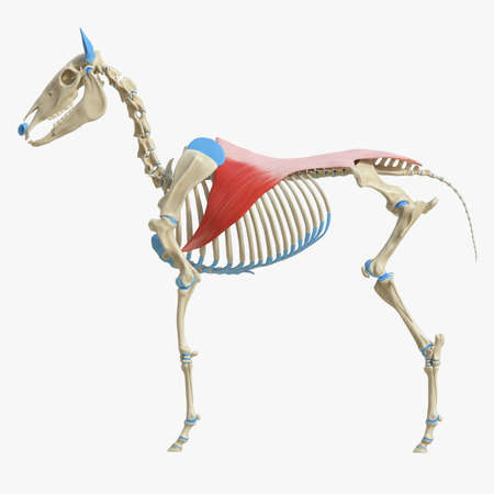 3d rindió la ilustración médicamente exacta de la anatomía del músculo equino - Latissimus Dorsi Foto de archivo