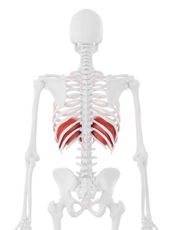 3d rendered medically accurate illustration of the Diaphragm Stock Photo