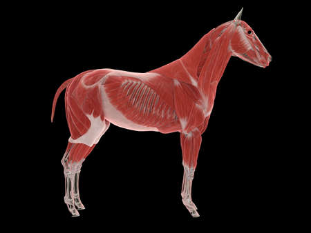 3d rendered medically accurate illustration of the horse muscle system