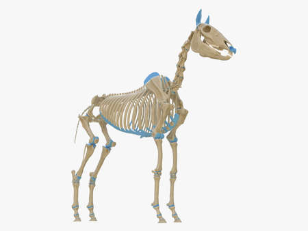 3d rendered medically accurate illustration of the horse skeleton Stock Illustration - 119083626