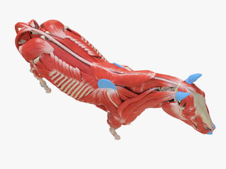 3d rendered medically accurate illustration of the equine muscle anatomy Stock Photo