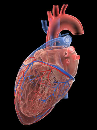 3d rendered medically accurate illustration of the human heart anatomy Stock Photo